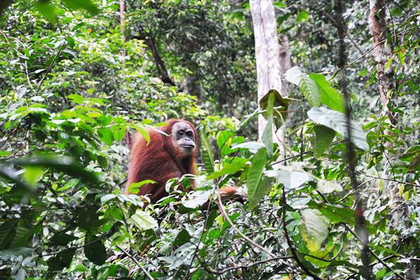 Melihat_Orangutan_di_Bukit_Lawang.jpg